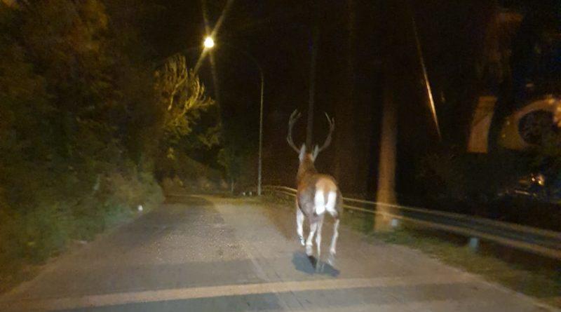 """VIDEO - Un cervo """"passeggia"""" per le vie di Poli"""